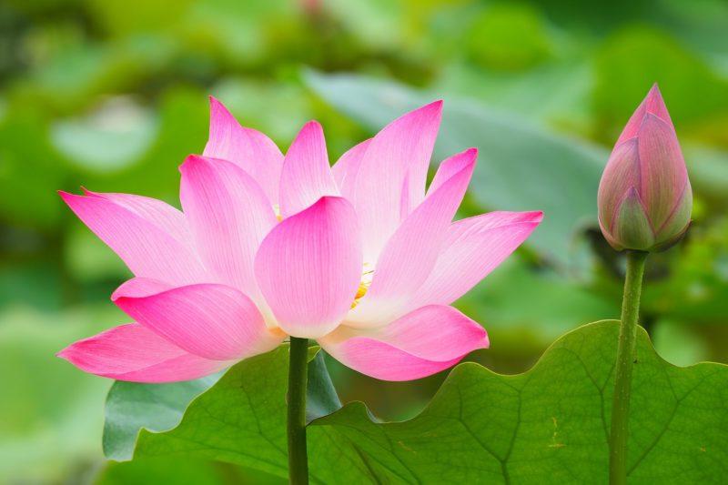 lotus rose sérénité calme paix zen méditation soin énergétique apaisement mental