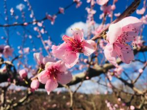 fleurs de cerisier rose arbre nature herbe